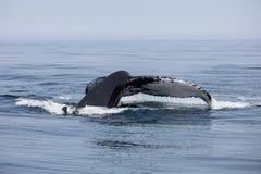 驼背鲸培养它巨型的尾巴在海外面 库存照片