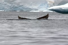 驼背鲸尾巴比目鱼在南极洲 免版税库存图片