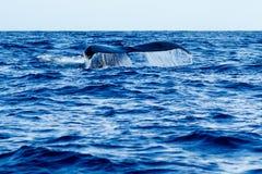 驼背鲸尾巴比目鱼 库存图片