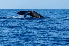 驼背鲸尾巴比目鱼 免版税图库摄影