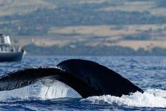 驼背鲸尾巴比目鱼 库存照片