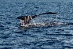 驼背鲸尾巴比目鱼 免版税库存照片