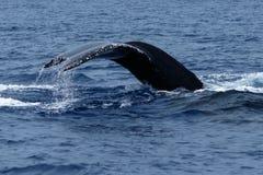 驼背鲸尾巴比目鱼 图库摄影