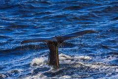 驼背鲸尾巴比目鱼andenes区域挪威 免版税库存照片
