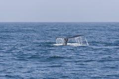 驼背鲸尾标在太平洋。 免版税库存照片