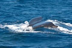 驼背鲸尾标 免版税库存图片