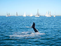 驼背鲸尾巴和帆船 图库摄影