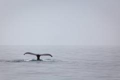 驼背鲸尾巴在M的水滴水特写镜头  免版税库存照片