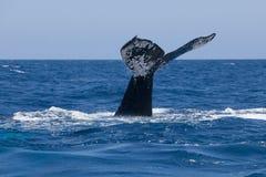 驼背鲸尾巴标号 库存图片