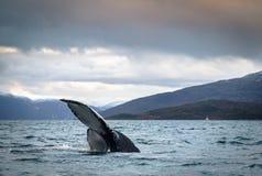 驼背鲸尾巴比目鱼在海洋在特罗姆瑟挪威 图库摄影