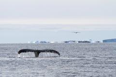 驼背鲸尾巴潜水在南冰洋中o的水域 库存图片