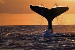 驼背鲸尾巴,加拉帕戈斯 库存图片