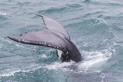 驼背鲸尾巴 免版税图库摄影