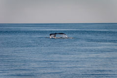 驼背鲸尾巴 图库摄影
