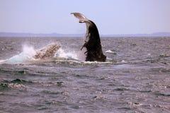 驼背鲸急降 免版税库存照片