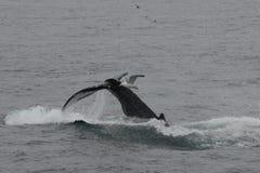 驼背鲸显示的尾巴比目鱼,当潜水时 免版税库存照片