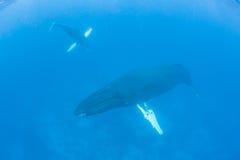 驼背鲸母亲和小牛 库存照片