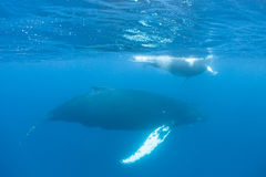 驼背鲸母亲和小牛 免版税库存图片