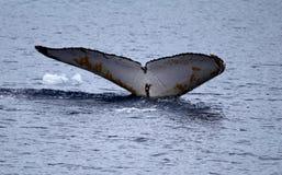 驼背鲸比目鱼 库存照片