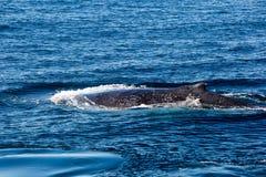 驼背鲸浮出水面的和喷洒的水通过通风孔 免版税库存图片