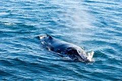驼背鲸浮出水面的和喷洒的水通过通风孔 免版税图库摄影