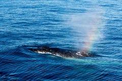 驼背鲸浮出水面的和喷洒的水通过通风孔- r 库存照片
