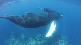 驼背鲸游泳在加勒比海 影视素材