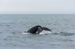 驼背鲸潜水。 图库摄影