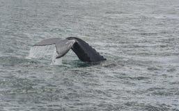 驼背鲸潜水。Megaptera novaeangliae 免版税库存照片