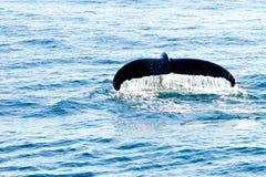 驼背鲸潜水-显示放出在尾巴的水 库存照片