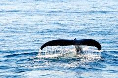 驼背鲸潜水-显示放出在尾巴的水 免版税库存照片
