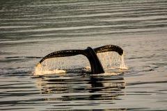 驼背鲸潜水的尾巴比目鱼 免版税库存照片
