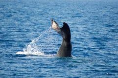 驼背鲸潜水 库存照片