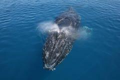 驼背鲸澳洲 免版税图库摄影