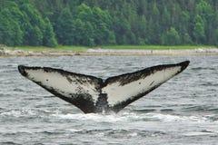 驼背鲸火焰阿拉斯加尾标  图库摄影