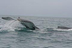 驼背鲸的大尾标掴 库存照片