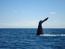 驼背鲸的尾巴 图库摄影