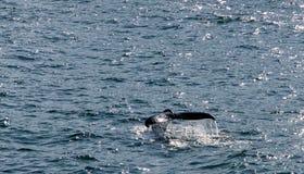 驼背鲸的尾巴 免版税库存照片