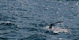 驼背鲸的尾巴 免版税库存图片