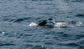 驼背鲸的尾巴 库存照片