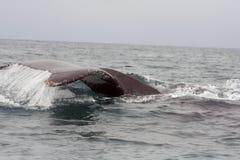 驼背鲸的尾标掴 免版税图库摄影
