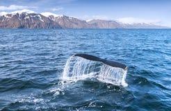 驼背鲸的尾标 免版税库存照片