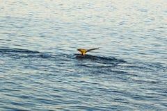 驼背鲸的尾巴 库存图片