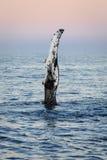 从驼背鲸的波浪 免版税库存照片