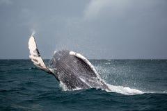驼背鲸跃迁  图库摄影