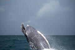 驼背鲸跃迁  免版税库存照片