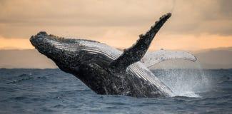 驼背鲸跳出水 美好的上涨 一张罕见的照片 马达加斯加 圣玛丽` s海岛