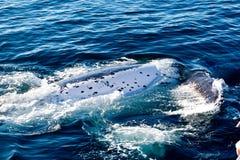 驼背鲸辗压在表面上的水中 免版税图库摄影