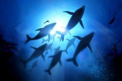 驼背鲸迁移 免版税库存照片