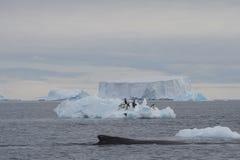 驼背鲸采伐 免版税库存图片